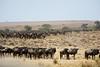034 Wildebeast KenyaTrip2013-01147