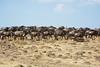 033 Wildebeast KenyaTrip2013-01172
