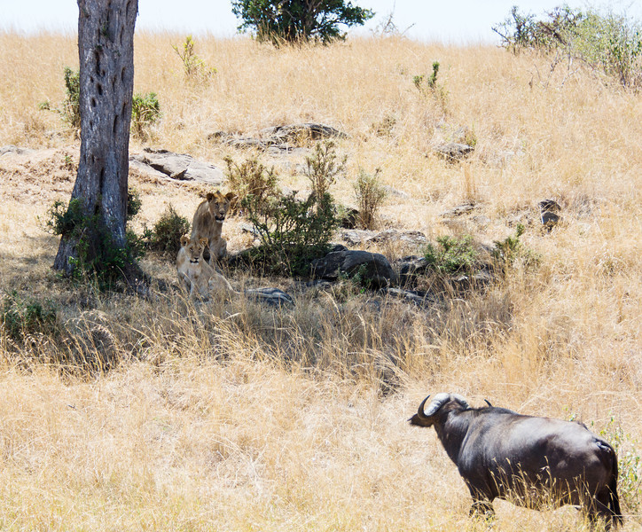 120 Lion diversion & Cape Buffalo KenyaTrip2013-01746