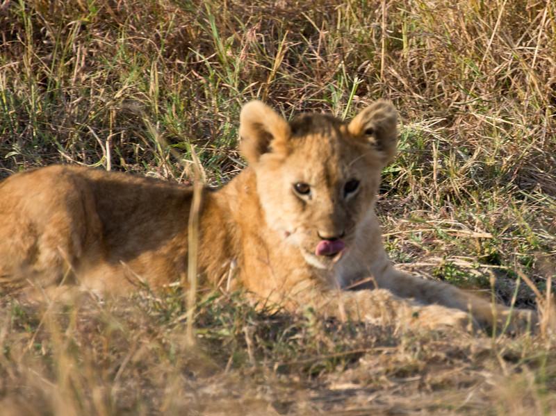 098 Lion cub KenyaTrip2013-01350