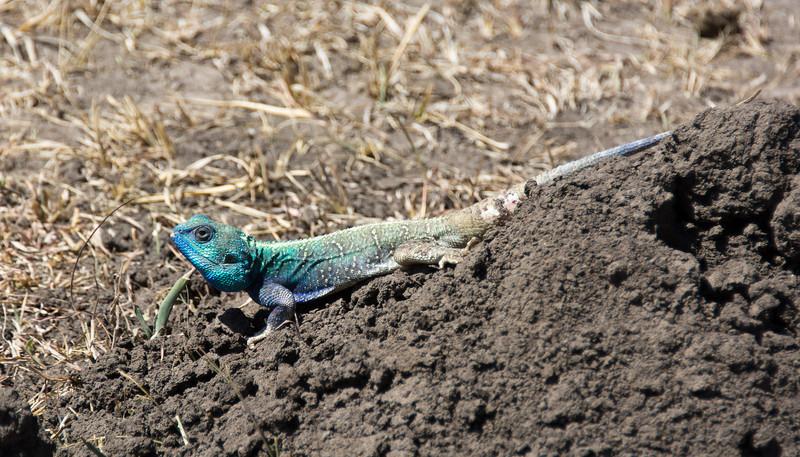 049 Lizard KenyaTrip2013-01588