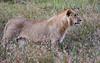 076 Lion