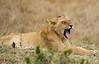 092 Lion KenyaTrip2013-01017