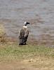 069 Vulture KenyaTrip2013-01146