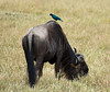 043 Wildebeast & Blue Bird KenyaTrip2013-01037