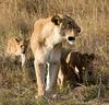 094 Lioness & cubs KenyaTrip2013-01316