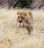 080 Lion cub KenyaTrip2013-00650