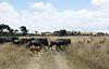 039 Wildebeast & Antelope KenyaTrip2013-01827
