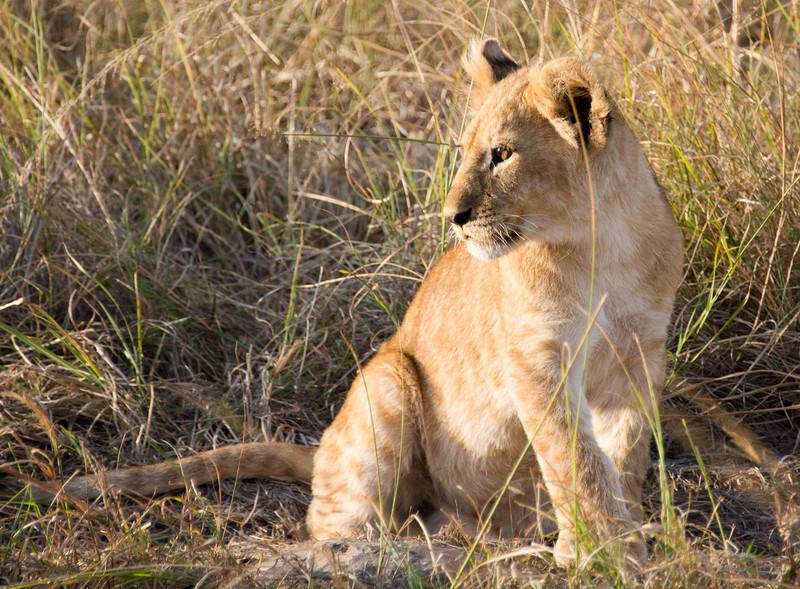 099 Lion cub KenyaTrip2013-01355