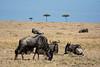 044 Wildebeast KenyaTrip2013-01554