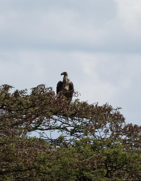 068 Vulture KenyaTrip2013-01846
