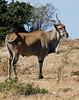 020 Eland KenyaTrip2013-01563
