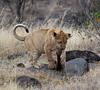 081 Lion cub KenyaTrip2013-00670