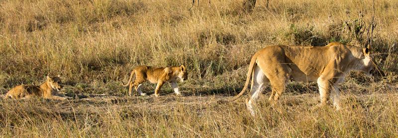 097 Lioness & cubs KenyaTrip2013-01346