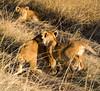 103 Lion cubs KenyaTrip2013-01385