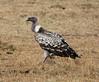 065 Vulture KenyaTrip2013-00800