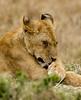 091 Lion KenyaTrip2013-01013