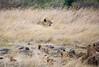 077 Lion pride KenyaTrip2013-00598