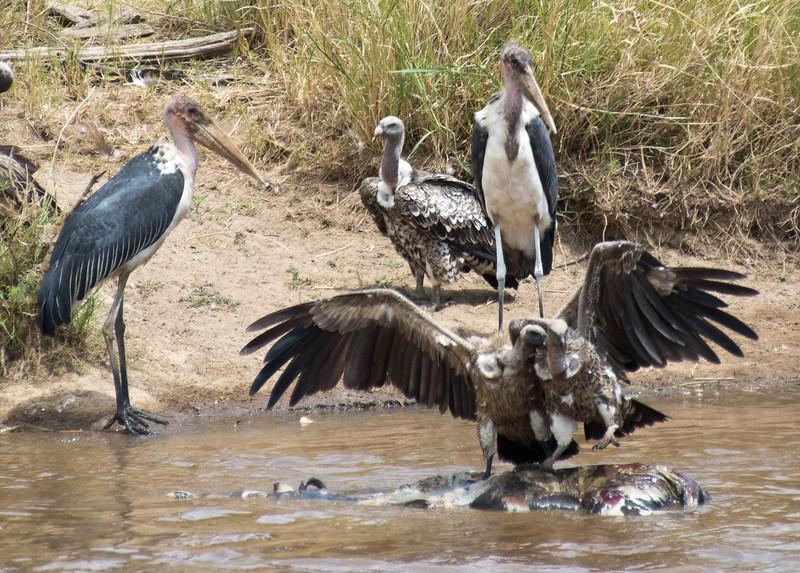 067 Storks & Vultures KenyaTrip2013-01138