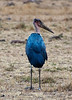 060 Stork KenyaTrip2013-00777