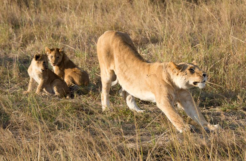 096 Lioness & cubs KenyaTrip2013-01342