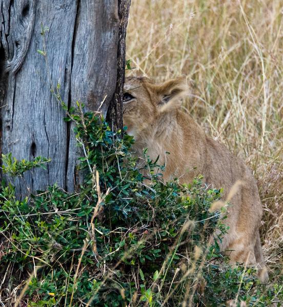 107 Lion cub & tree KenyaTrip2013-01447-2