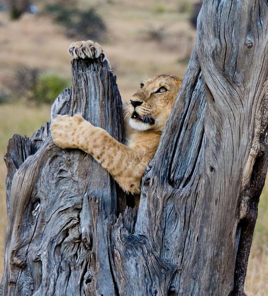 106 Lion cub & tree KenyaTrip2013-01435-2
