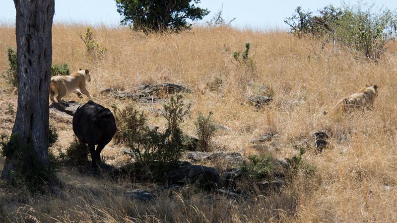 121 Lion diversion & Cape Buffalo KenyaTrip2013-01749-2