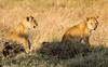 100 Lion cubs KenyaTrip2013-01363
