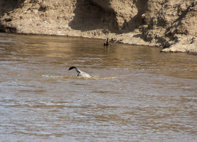 032 River Crossing Wildebeast taken by croc KenyaTrip2013-01200