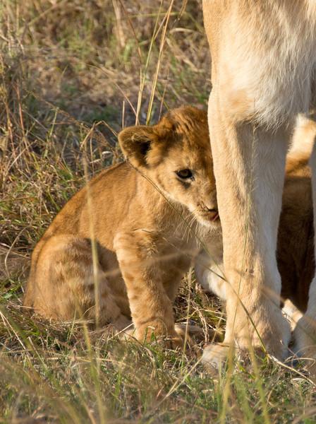 095 Lion cub & mother Kenya Trip2013-01340ish