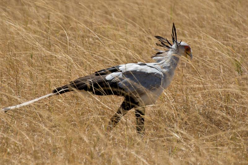 054 Bustard KenyaTrip2013-01860
