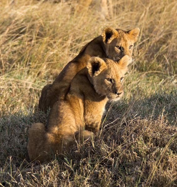 101 Lion cubs KenyaTrip2013-01369