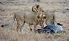 084 Lions & Wildebeast carcas KenyaTrip2013-00747