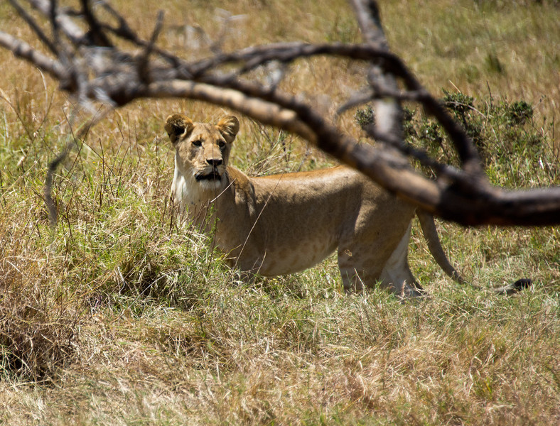 116 Lion diversion KenyaTrip2013-01725