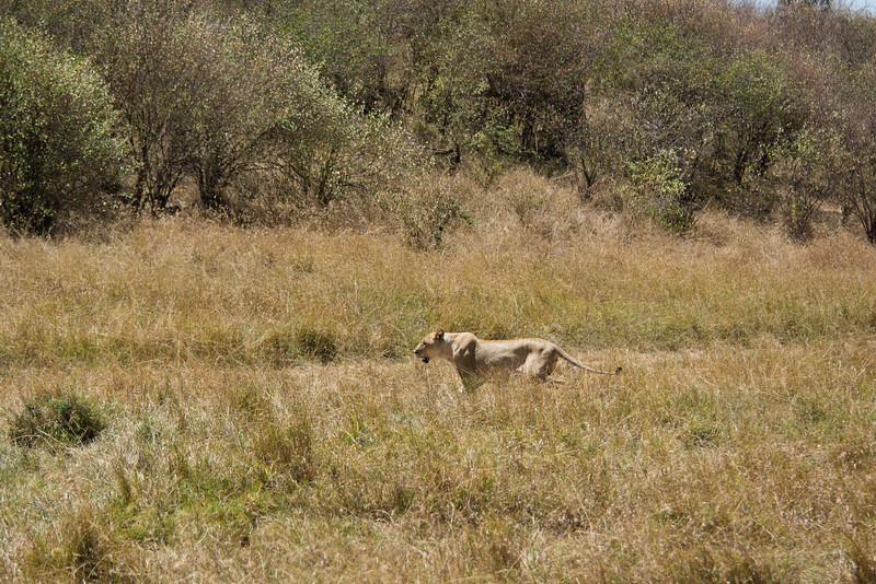 117 Lion diversion KenyaTrip2013-01728