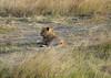 075 Lion KenyaTrip2013-01394