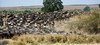 035 Wildebeast & Zebras KenyaTrip2013-01164