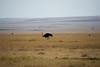 051 Ostrich KenyaTrip2013-01055