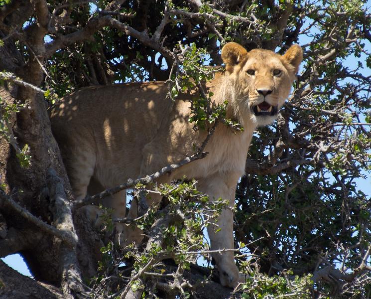 114 Treed Lion KenyaTrip2013-01687