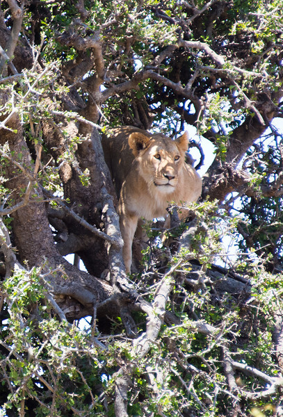 113 Treed Lion KenyaTrip2013-01675