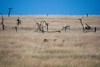 072 Lions KenyaTrip2013-01406
