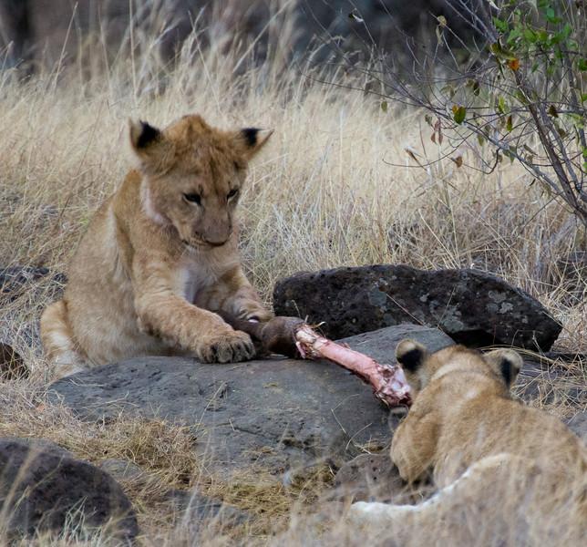 083 Lion cubs KenyaTrip2013-00707