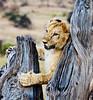 105 Lion cub & tree KenyaTrip2013-01434