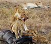 087 Lions & Wildebeast carcas KenyaTrip2013-00889