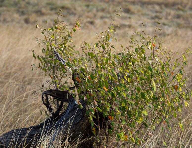 108 Tree stump leaves KenyaTrip2013-01393