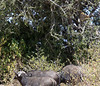 111 Cape Buffalo treed Lion KenyaTrip2013-01712