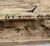 066 Vultures KenyaTrip2013-01121