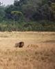 073 Lions KenyaTrip2013-00986