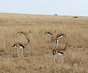 022 Gazelle KenyaTrip2013-01047